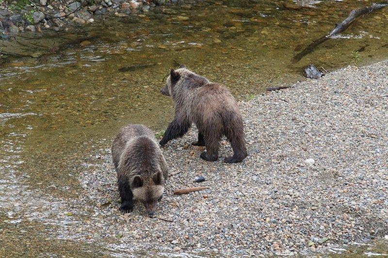 Grizzly na wypasie.jpg