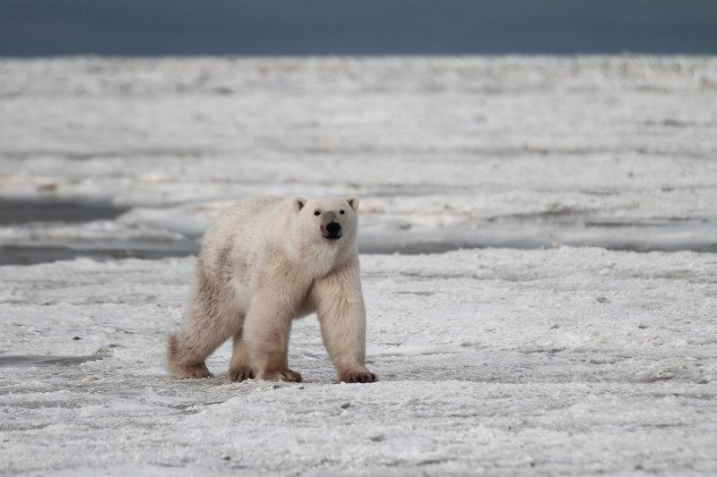 Niedźwiedzie polarne (11).jpg