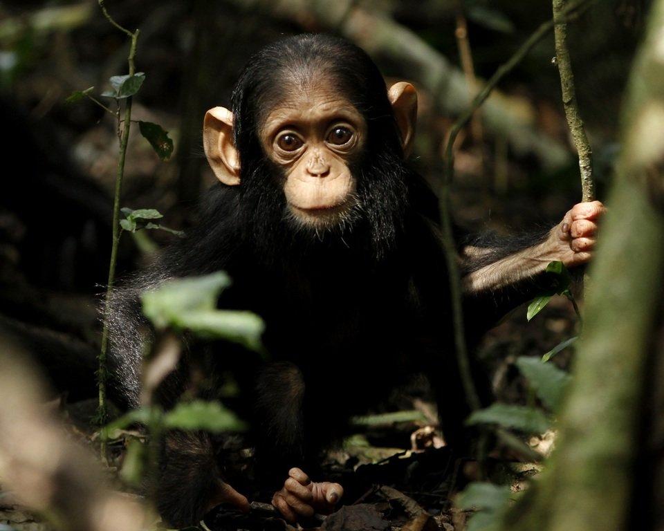 Dzikie Kongo 02.jpg