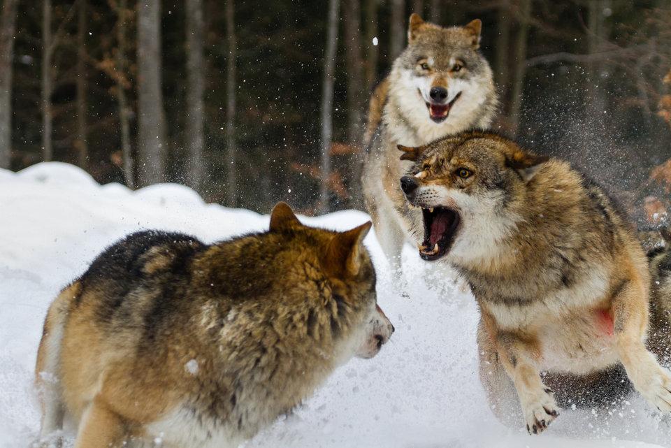 Walki zwierząt.jpg