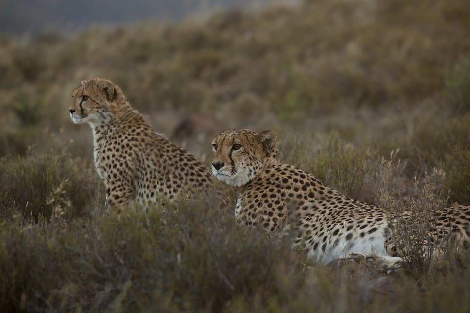 Miesiąc wielkich kotów_Cudowny gepard_małe.jpg