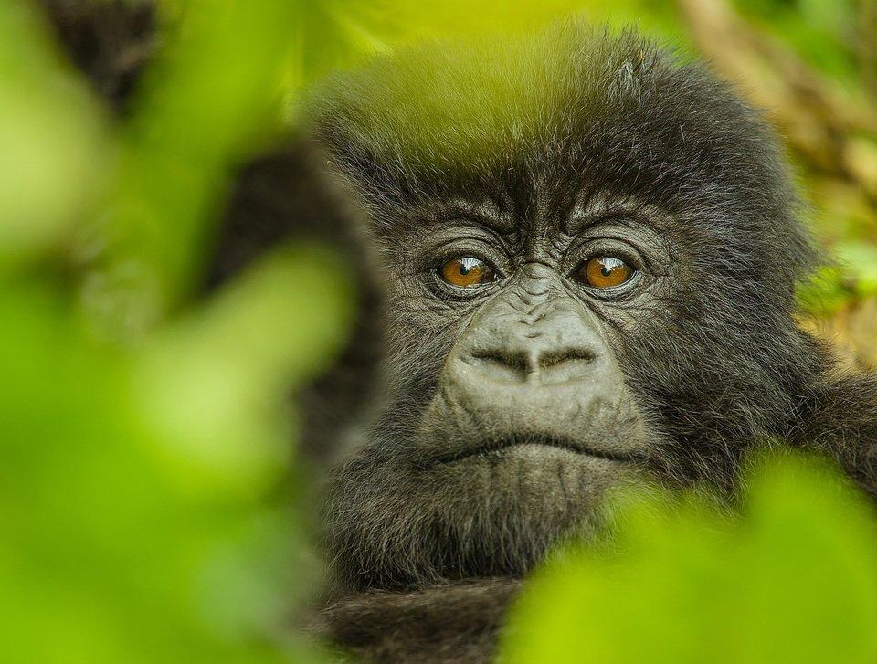 Kto zabił Dian Fossey_8_małe.jpg