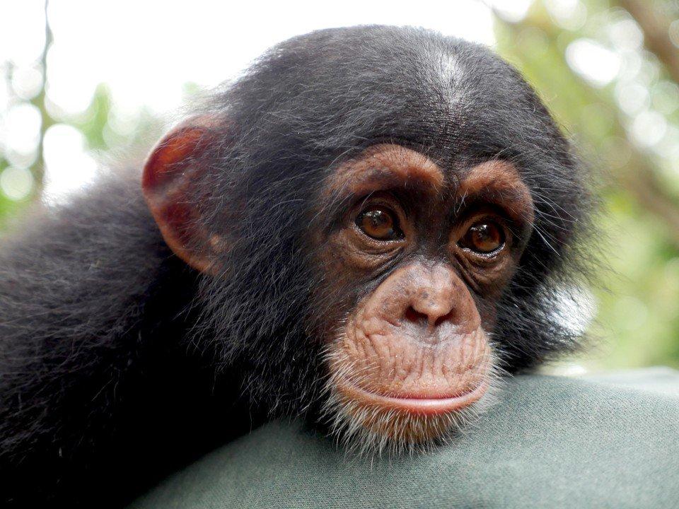 szympans.jpg