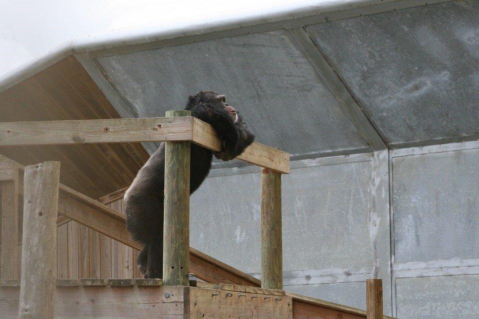 szympans 2.jpg