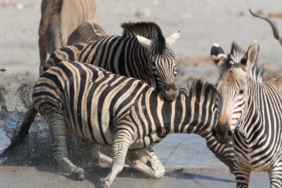 Walki zwierząt 4.jpg