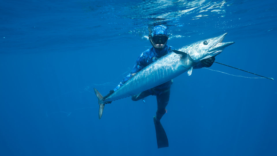 Rekin kontra tuńczyk 2.jpg