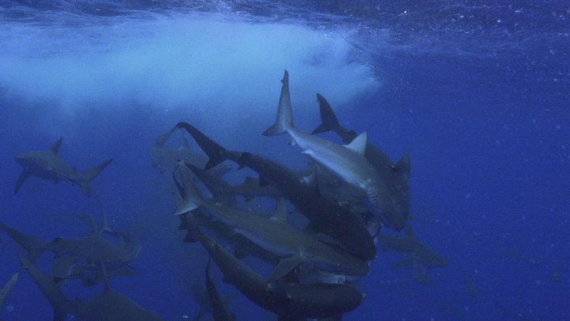 Rekin kontra tuńczyk 3.jpg