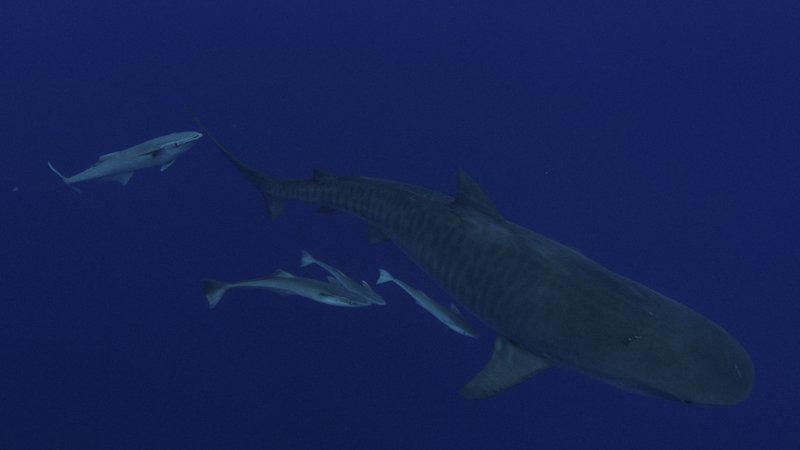 Rekin kontra tuńczyk 4.jpg