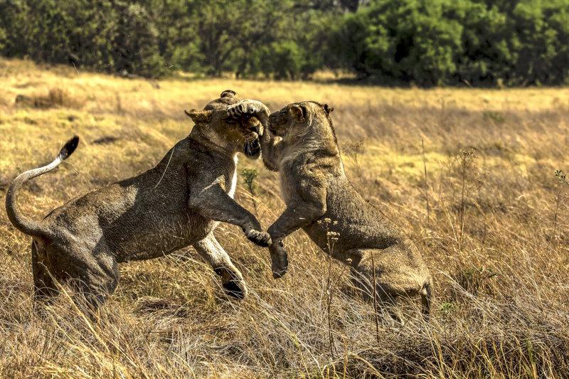 Lwy kontra Masajowie 14.jpg