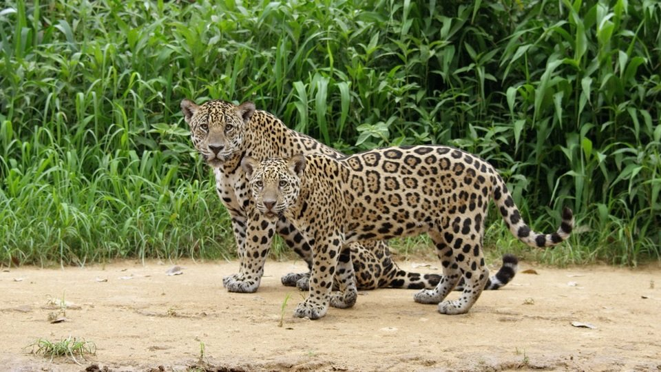 JaguarVsCroc_21 male.jpg