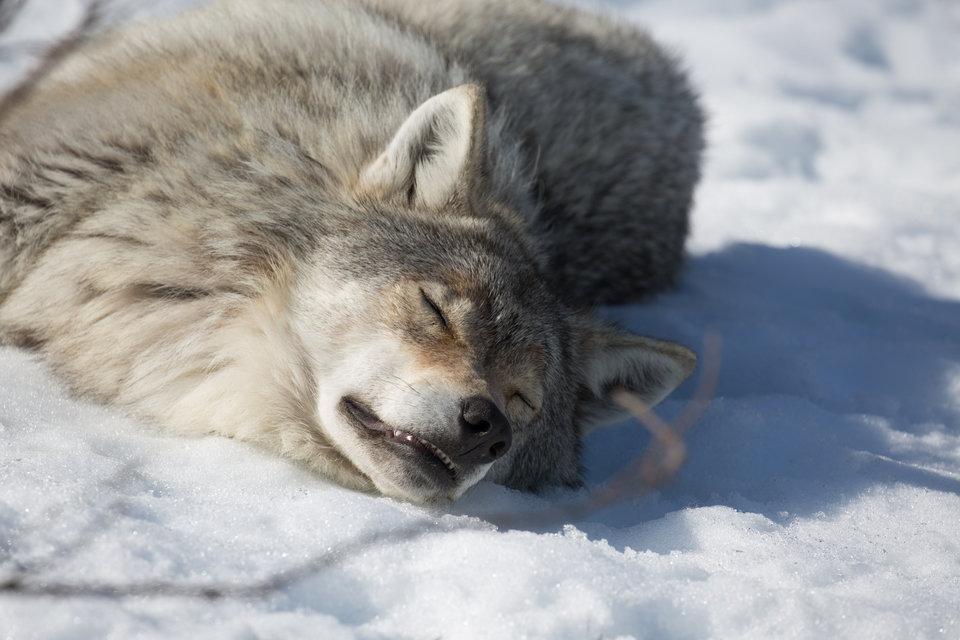 WolfVBear_01.jpg