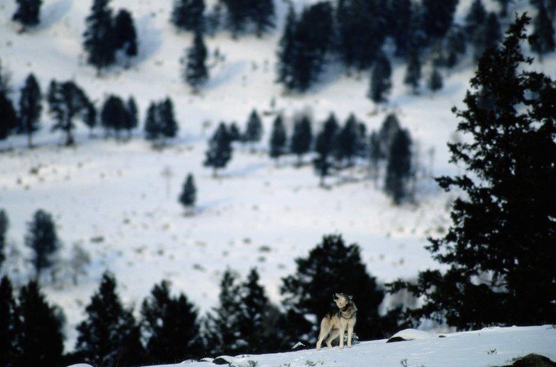 Wilki z Yellowstone 2.jpg