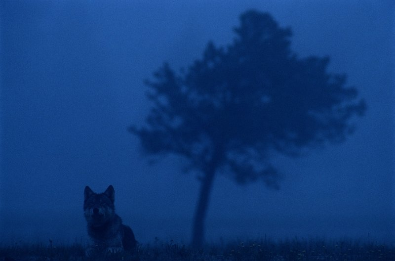 Wilki z Yellowstone 3.jpg
