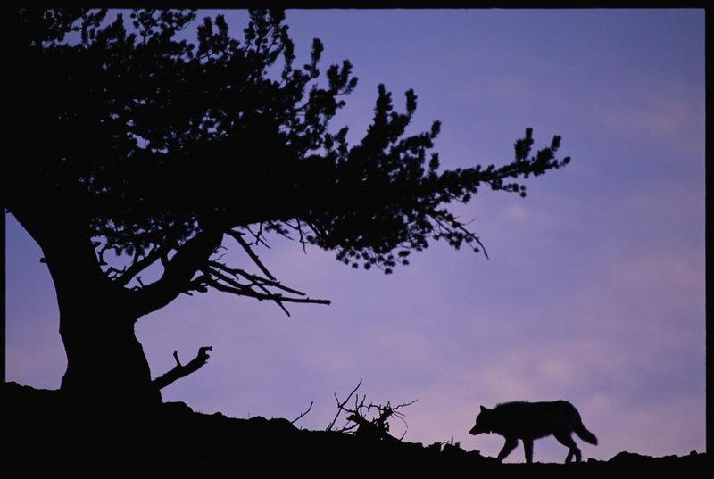 Wilki z Yellowstone 5.jpg