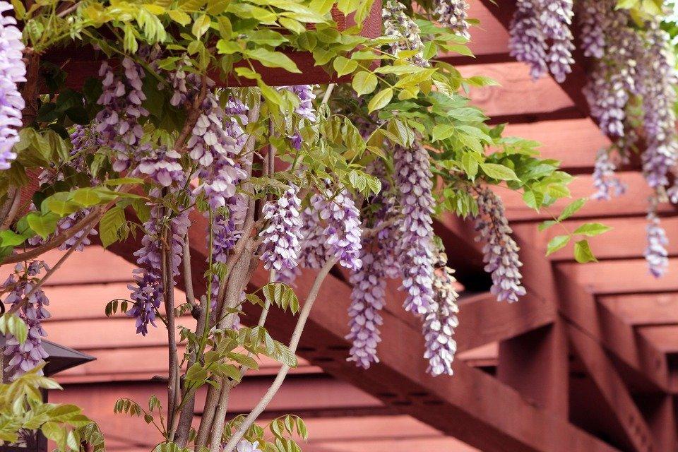 wisteria-1152229_1920.jpg