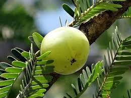 Amla (agrest indyjski)