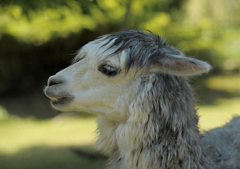 Alpaki - warszawskie ZOO