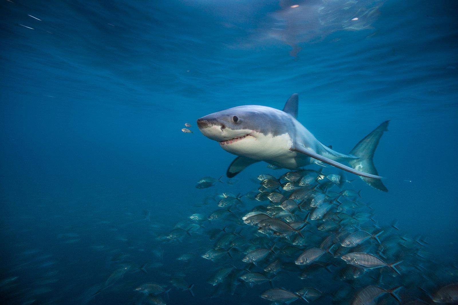 Nat Geo Wild z tematycznymi maratonami. W sierpniu rządzą rekiny.
