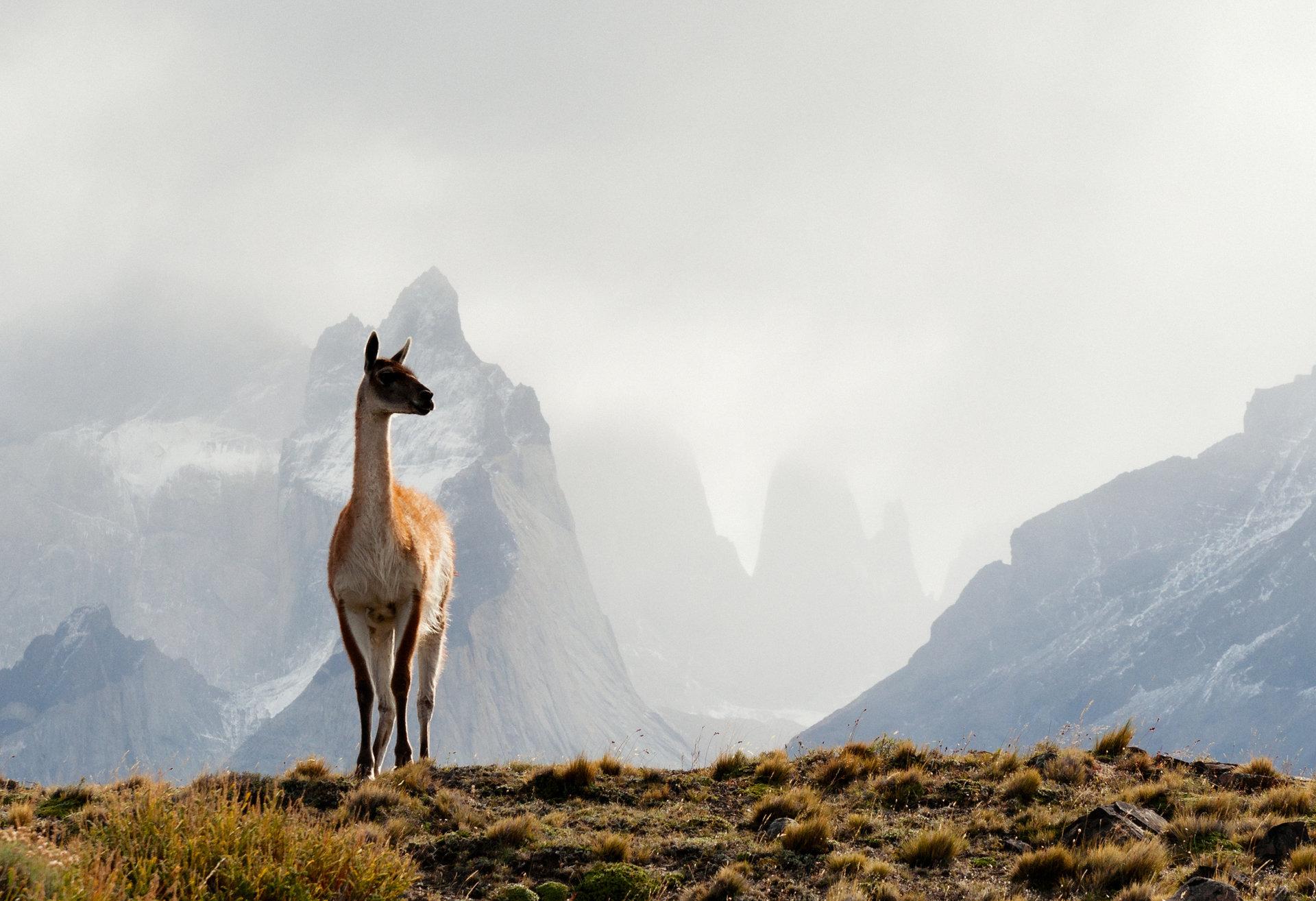 """Jeden z najbardziej niezwykłych krajów świata i zwierzęta, które można spotkać tylko tutaj. """"Dzikie Chile"""" w maju na kanale Nat Geo Wild"""