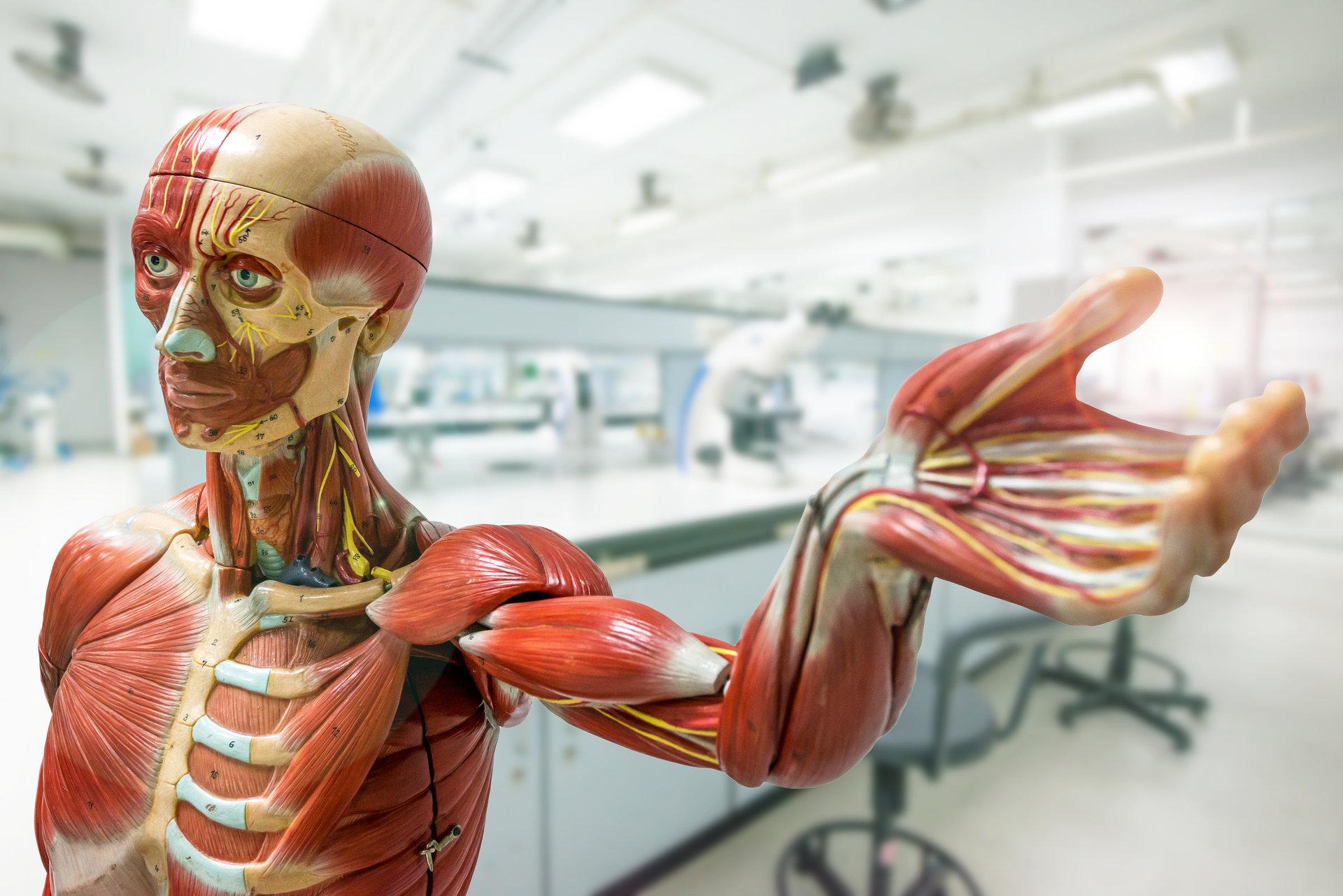 Kurs anatomii dla licealistów