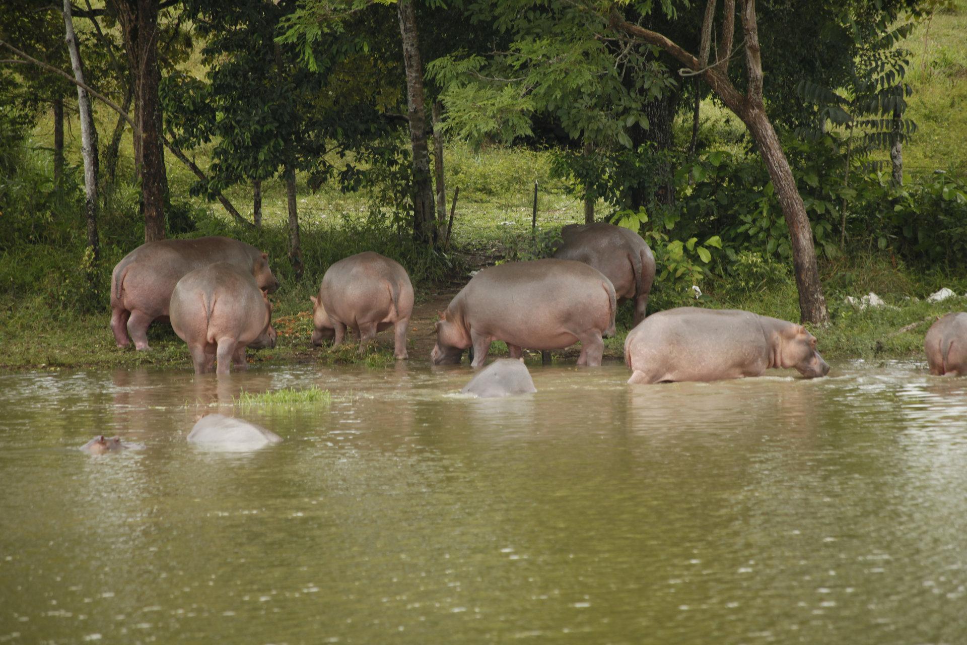 """Co wspólnego z hipopotamami w Kolumbii ma Pablo Escobar? Odpowiedź w programie """"Groźni przybysze"""" na kanale Nat Geo Wild"""