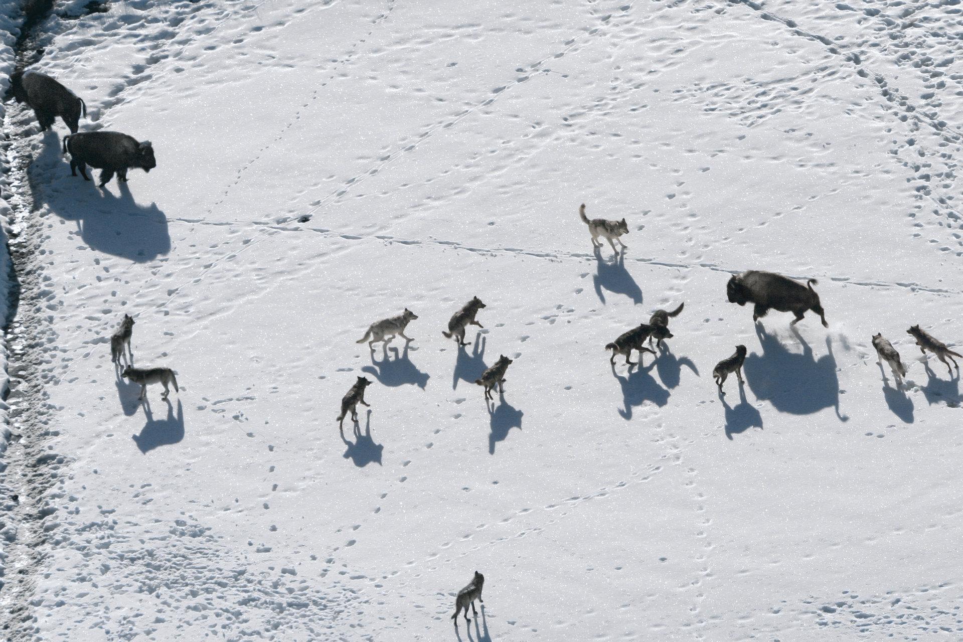 """Eksperyment, który naprawił ludzki błąd. """"Wilki z Yellowstone"""" we wrześniu na kanale Nat Geo Wild"""